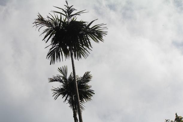 Betel nut tree